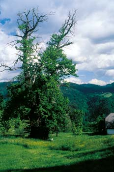 Kostanjev mogotec v Poljanski dolini