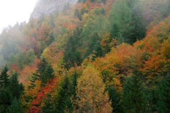 Šumijo gozdovi domači