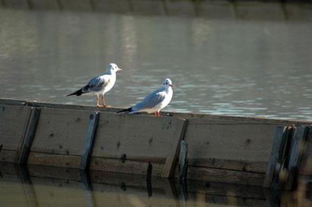 Ptice sečoveljskih solin