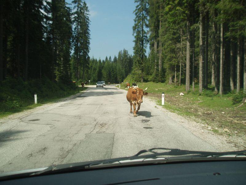 Pokljuka krava na cesti