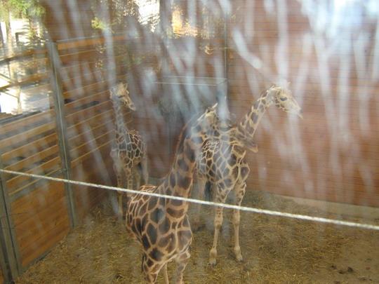 blogi 420 IMG 0011a Živalski vrt - trije žirafki