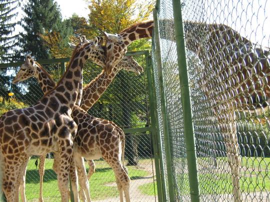 blogi 420 IMG 0015a Živalski vrt - trije žirafki