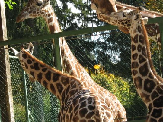 blogi 420 IMG 0018a Živalski vrt - trije žirafki