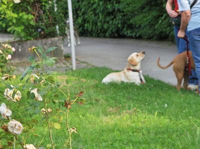 blogi 420 lina5 001 Marley - nenavaden labradorec