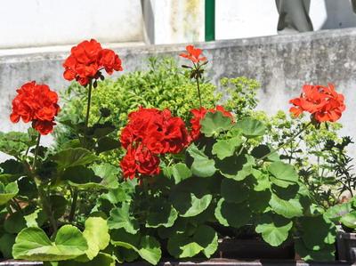 blogi 420 svetlana 339 Rože
