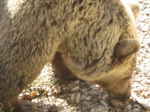 blogi 420 IMG 00271 Rjavi medved