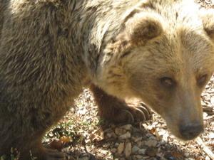 blogi 420 IMG 00281 Rjavi medved