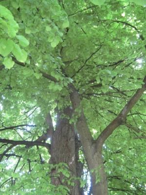 blogi 420 botanicni vrt lj 095 20090511 1130628789 Lipa zelenela je