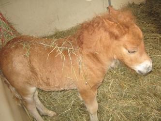 blogi 420 konji 0331 Shetlandski poni