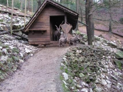 blogi 420 kozorog Alpski kozorog