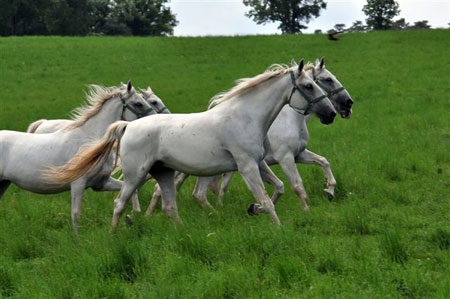 zanimivosti lipica lipicanec5 Predstavitev kobilarne Lipica