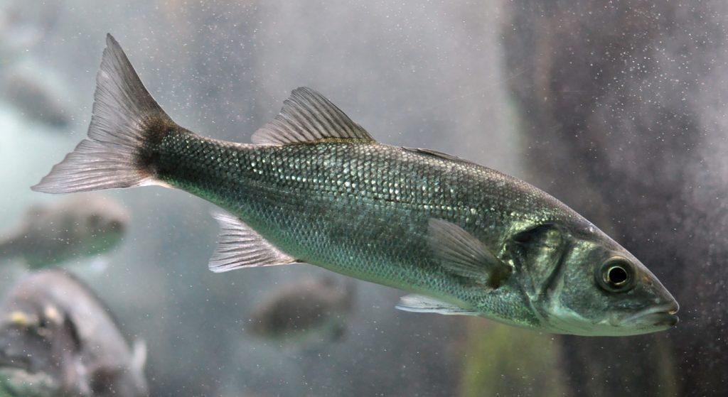 aktualne novice brancin Kako se odpraviti na ribolov brancina?