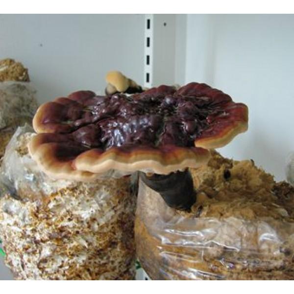 novice ganoderma lucidum Odkrivanje skritega potenciala gob in slovenskega podzemlja